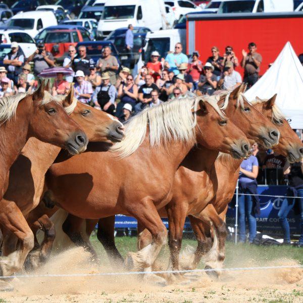chevaux comtois spectacle dressage