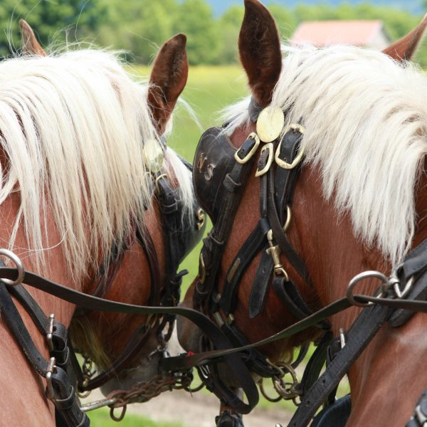 chevaux comtois calèches pays horloger saut du doubs