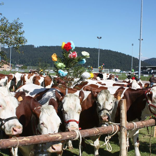descente alpage vaches montbeliardes fete pays horloger doubs jura