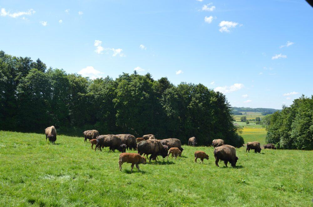 bisons sachuron visite élevage animation pays horloger jura
