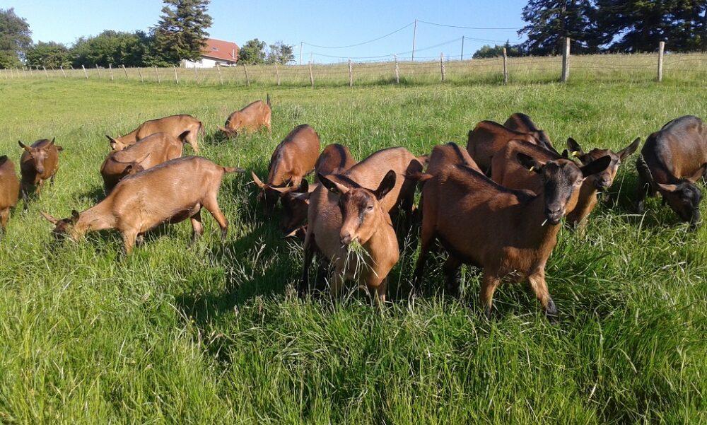 chèvre animation visite élevage pays horloger jura